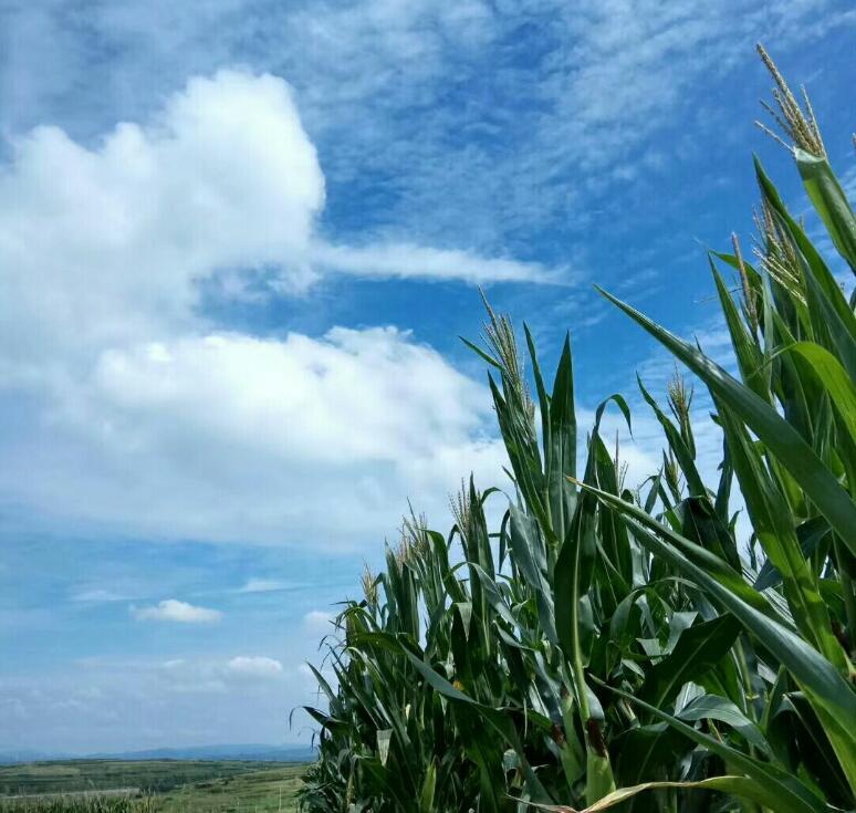 玉米地里也有春天